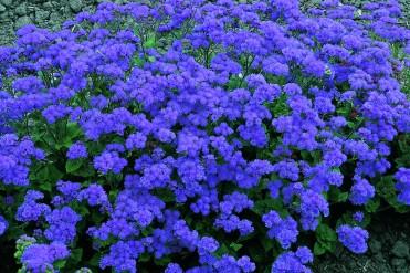 ageratum__leilani_blue_