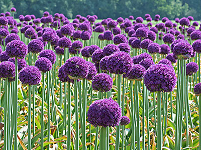 Allium-flower