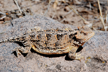 best_g_full_horned_lizard_2