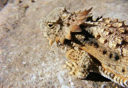 flat-tailed-horned-lizard-e1293563033108