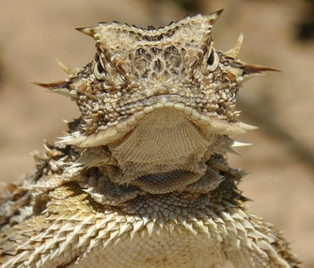 texashornedlizard