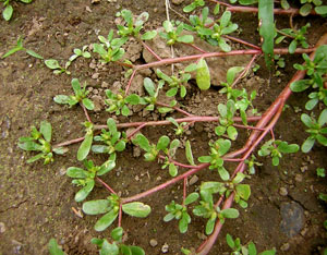 purslane_leaves_edited_300