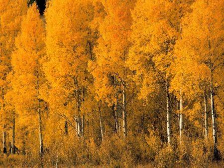 Aspen-Trees-Montana