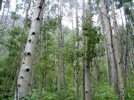 aspen-trees_0