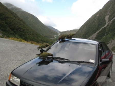 kea-birds-love-windshield-rubber-arthurs-pass