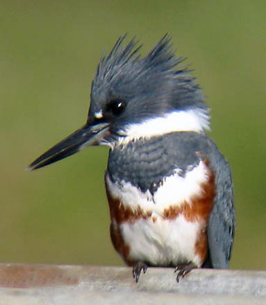 Female-Belted-Kingfisher