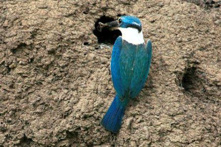 sacred kingfisher 02