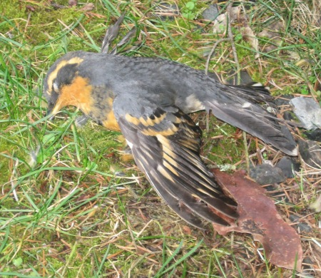 VariedThrush flew into window escaping.Amy Schillinger