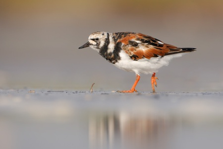 1440_Ruddy_Turnstone_04-26-2009_0