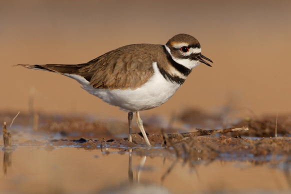 1539_Killdeer_11-12-2008_0