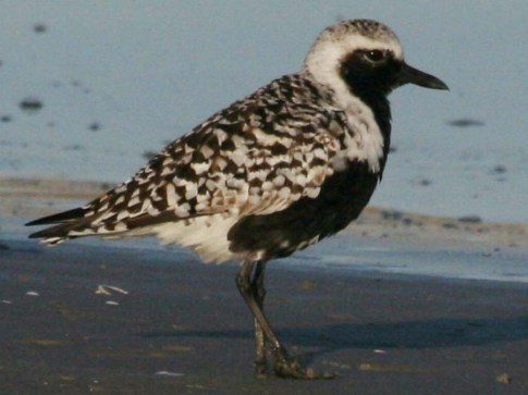plover, black-bellied 05-14g SB