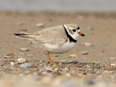 Plover_Piping1_male-IMG_0894_copy