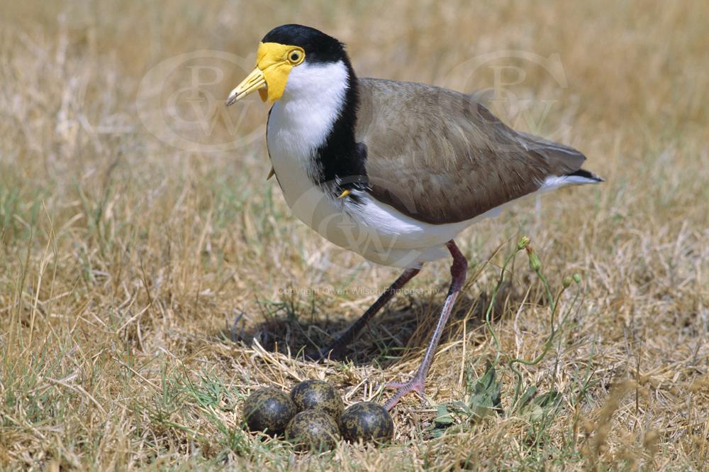 spur-winged-plover-at-nest-1.jpg