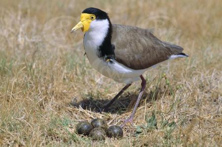 Spur-winged Plover at nest 1