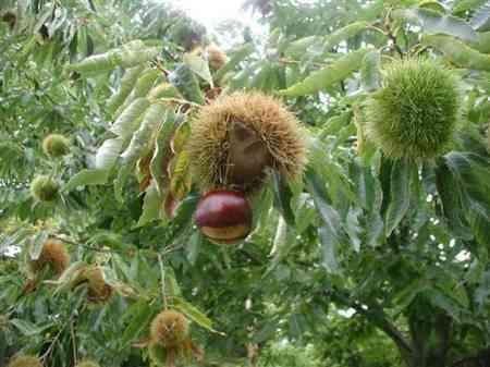 american-hybrid-chestnut