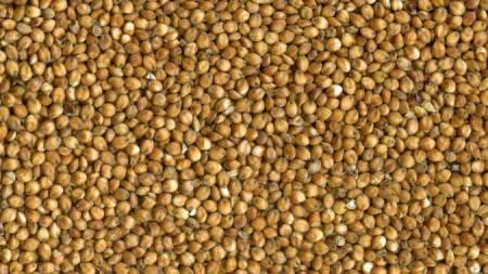sorghum-grain