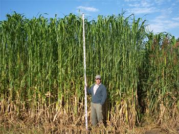 tall-sorghum