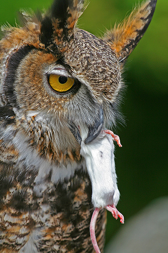 Big Horned Owl with prey