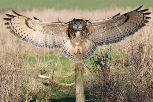 Birds: Great Horned Owl   Henry E. Hooper