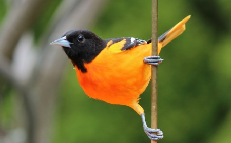 Image result for baltimore oriole