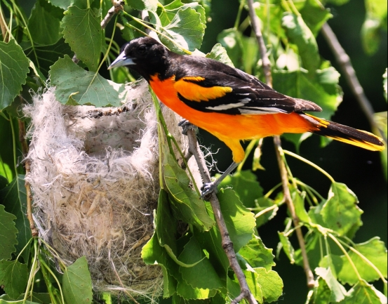 oriole-Male-at-nest