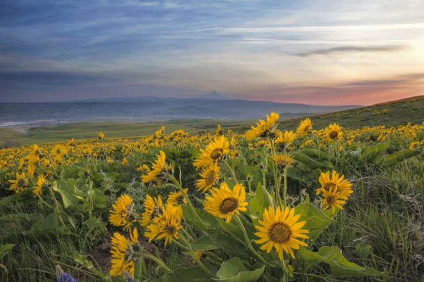 Image result for balsamroot
