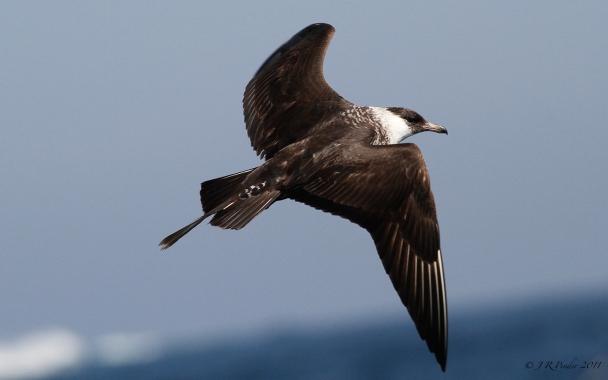 Image result for pelagic skua
