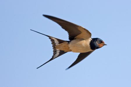 Swallow01